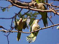Wild Parrots of Brooklyn