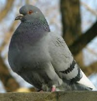 New York City Pigeon